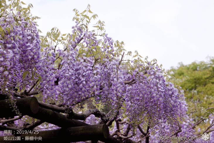 wisteria-flowers20190425_06