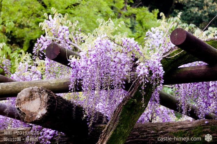 wisteria-flowers20190425_08