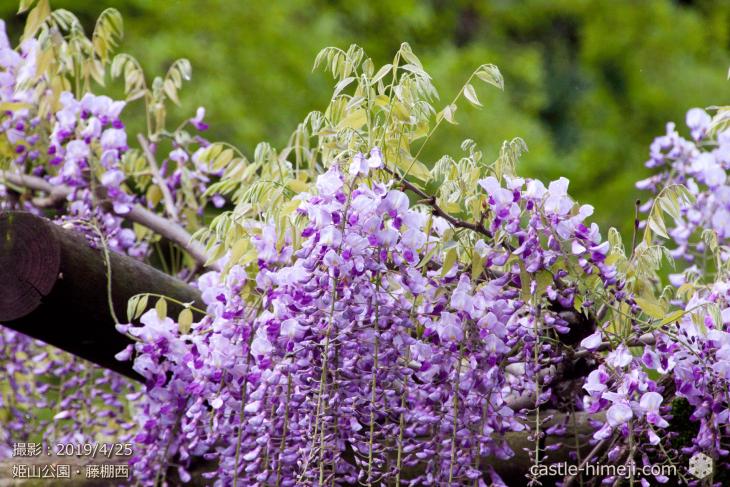 wisteria-flowers20190425_09