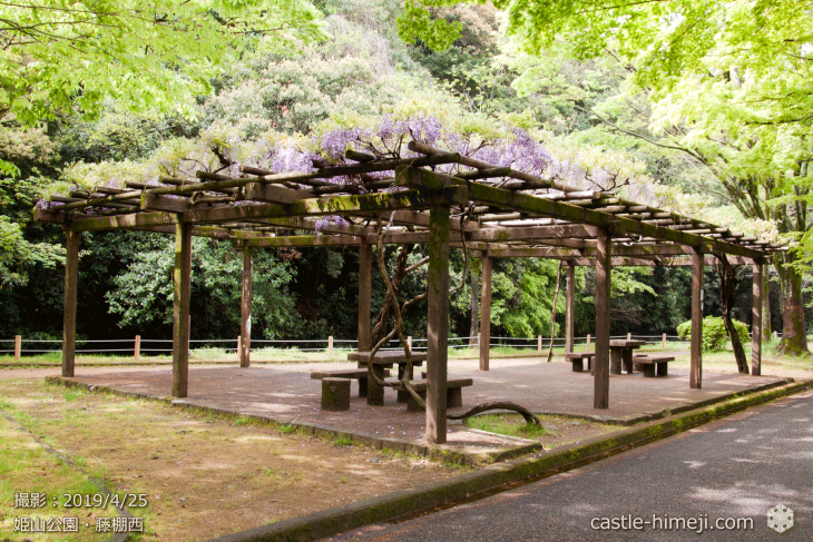wisteria-flowers20190425_10