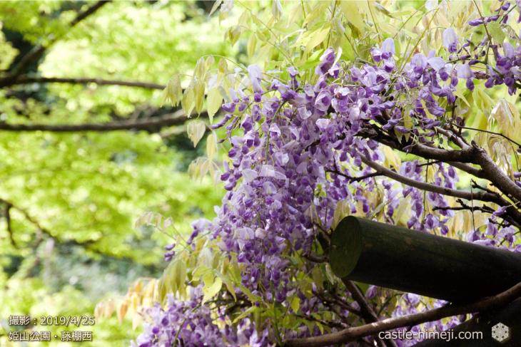 wisteria-flowers20190425_11