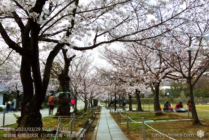 11_三の丸広場-西中道・姫路城・2021.3.29桜開花状況