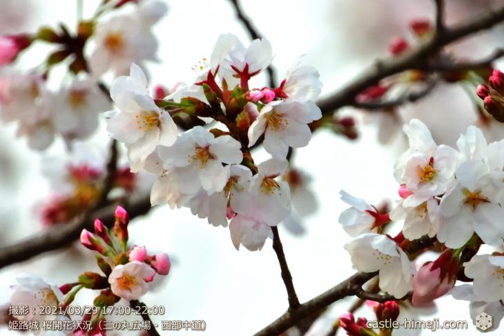 12_三の丸広場-西中道の開花・姫路城・2021.3.29桜開花状況