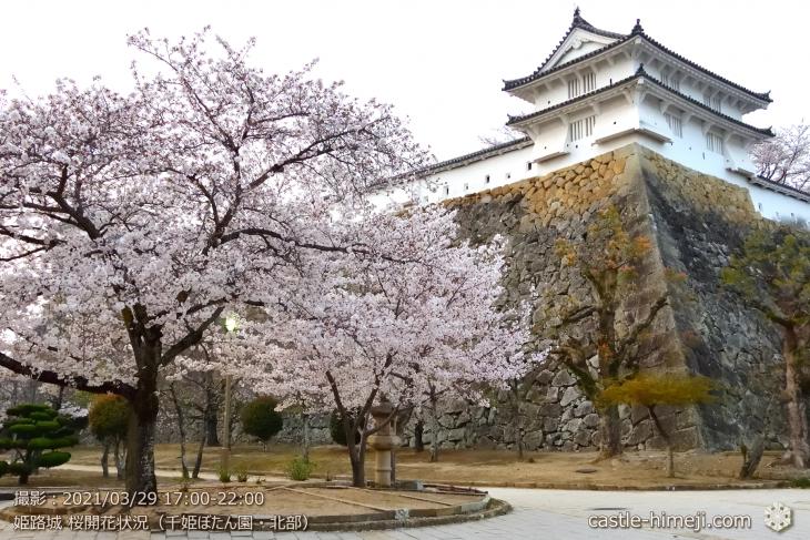 14_千姫ぼたん園北・姫路城・2021.3.29桜開花状況