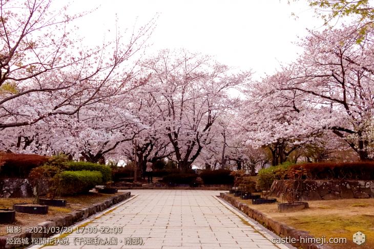 15_千姫ぼたん園南・姫路城・2021.3.29桜開花状況