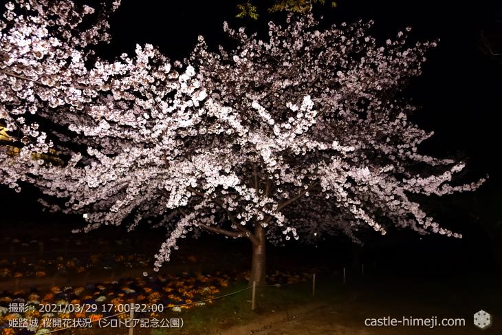 25_シロトピア記念公園・姫路城・2021.3.29桜開花状況